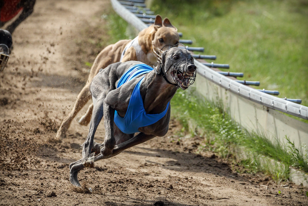 Top Betting Sites for Greyhound Racing